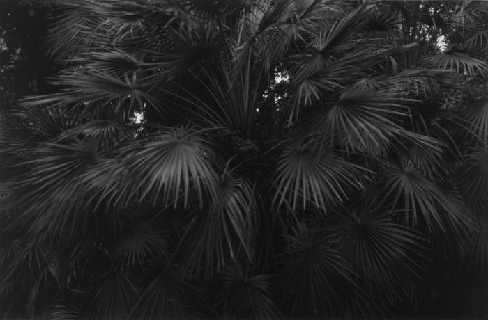 Kaja Leijon - Palm, 2015, 19,5 x 29,5 cm, Silver gelatin-print.
